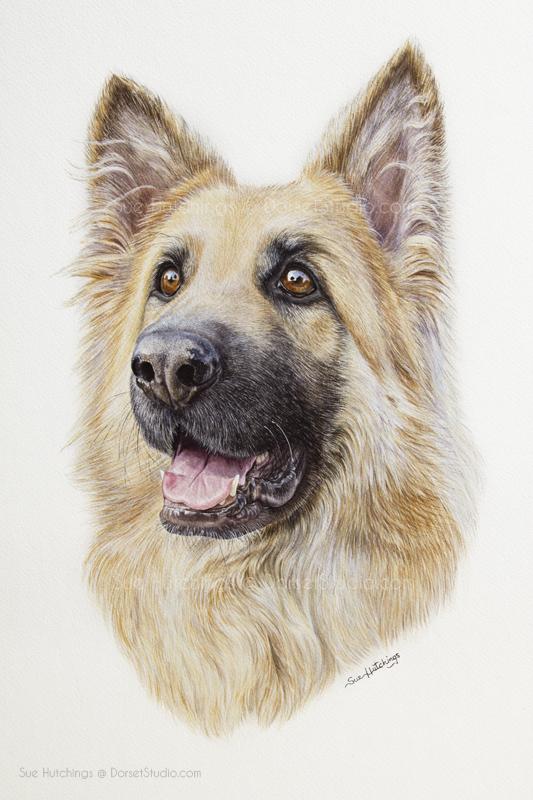 Watercolour portrait of Zac the Alsatian by Sue Hutchings