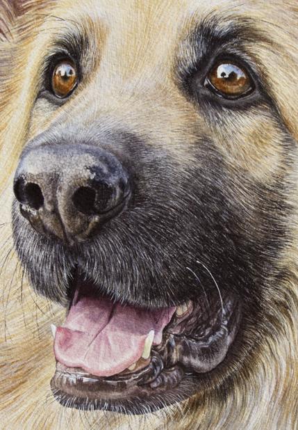 Watercolour portrait of Zac the Alsatian, close up eyes detail