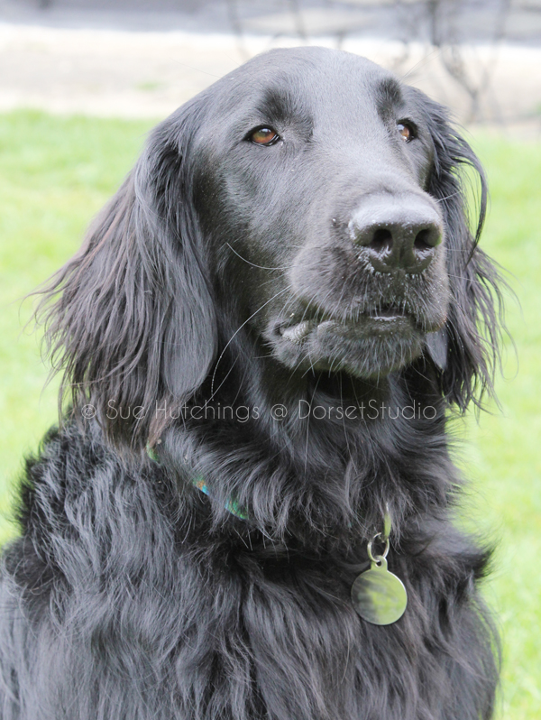 freeman black retriever watercolour animal portrait reference-sue hutchings